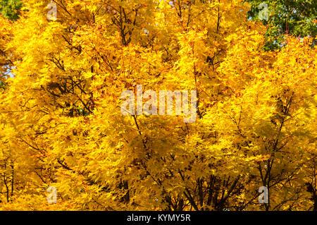 Acer palmatum 'Sango-kaku', Japanese Maple - Stock Photo
