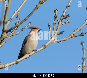 Detailed close up of UK waxwing bird (Bombycilla garrulus) isolated outdoors, perched in leafless tree in winter - Stock Photo