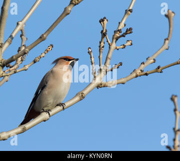 Detailed, low-angle close up of isolated waxwing bird (Bombycilla garrulus) perched high in leafless tree in the - Stock Photo