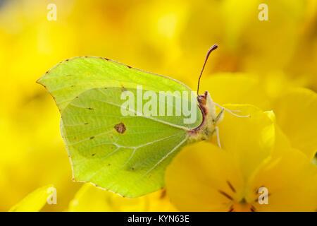 Brimstone Butterfly resting on yellow pansy - Gonepteryx rhamni - Stock Photo