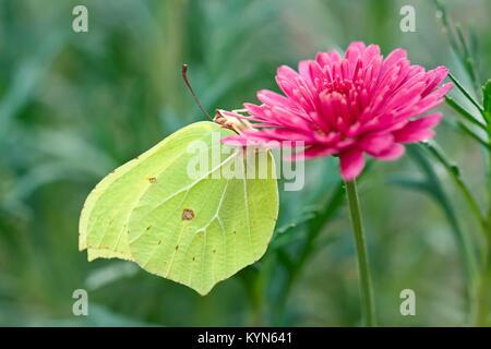 Brimstone Butterfly resting on Marguerite daisy flowers - Gonepteryx rhamni - Stock Photo
