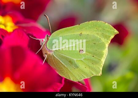 Brimstone Butterfly resting on primula flower - Gonepteryx rhamni - Stock Photo