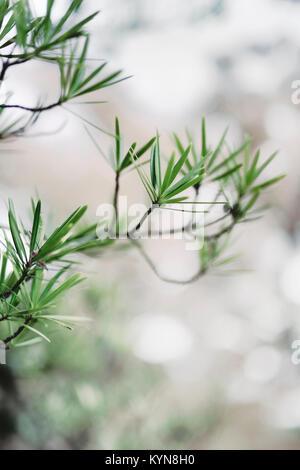 Sciadopitys verticillata, Japanese umbrella pine, koyamaki, living fossil conifer tree with flat wide needles artistic - Stock Photo