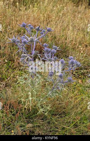 flowering plant of amethyst eryngo - Stock Photo