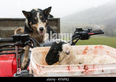 Border collie sheepdog watching a newborn lamb while sitting on a quad bike,  during lambing time, Cumbria, UK. - Stock Photo