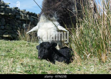 Herdwick ewe with newborn lamb in upland pasture, UK. - Stock Photo