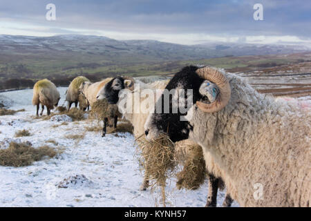 Swaledale ewes enjoying a nice bite of hay up on the hills above Askrigg, North Yorkshire. - Stock Photo