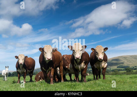 Yearling Hereford bulls on pasture land in the Lune Valley, Cumbria, UK. - Stock Photo