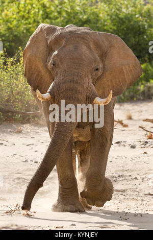 Bull elephant comes towards the camera in the dry Hoanib River bed, Namibia. - Stock Photo