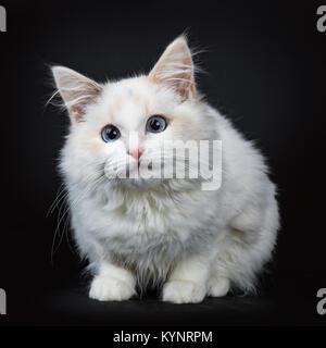 Blue eyed ragdoll cat / kitten laying isolated on black background facing camera waiting - Stock Photo