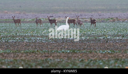 Hanover, Germany. 15th Jan, 2018. A swan and several deers can be seen resting on a field near Hanover, Germany, - Stock Photo