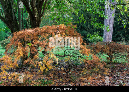 Cut-leaved Japanese maples (Acer palmatum (D)) in autumn - Stock Photo