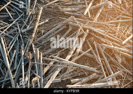 Dry straw in the field after harvest, at sunset. Background or texture - Stock Photo