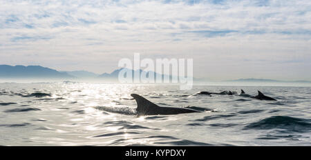 Group of dolphins, swimming in the ocean and hunting for fish. Dolphins swim and jumping from the water. The Long - Stock Photo