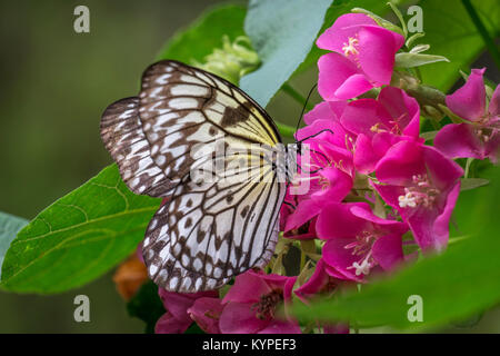 Idea leuconoe, the paper kite, rice paper or large tree nymph butterfly on red flowers - Stock Photo