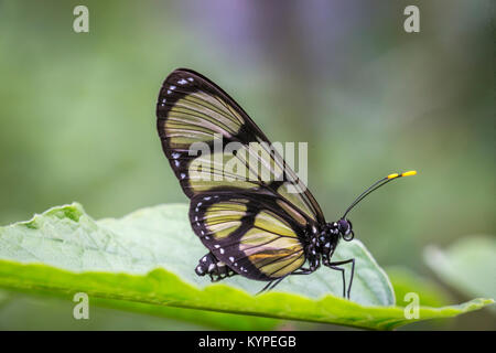 Close up of Glasswing butterfly, Greta oto - Stock Photo