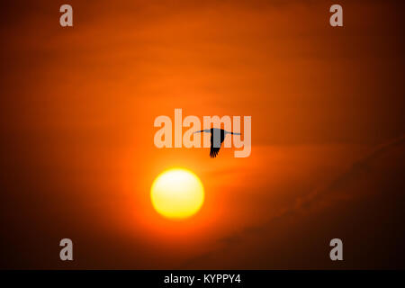 Oriental darter Flying towards the Sunset at Punchakkari, Thiruvananthapuram, Kerala - Stock Photo