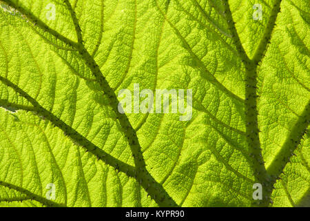 Gunnera leaf backlit  full frame background texture close up - Stock Photo