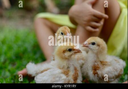 One week old domestic free range chicks playing with children (Rhode Island Red Breed), in a natural setting, Townsville, - Stock Photo