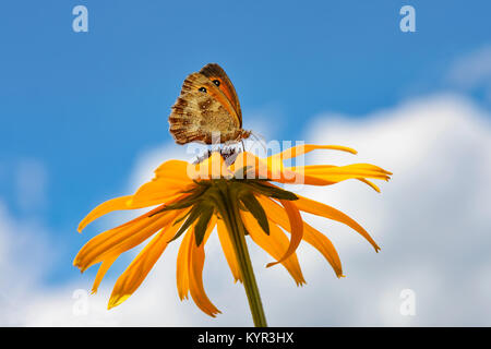 Butterfly Pyronia tithonus, also called Gatekeeper or Hedge brown, feeding on nectar from a flowering orange coneflower - Stock Photo