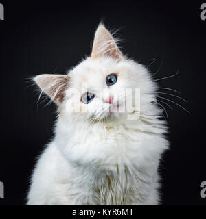 Portrait of blue eyed ragdoll cat / kitten sitting isolated on black background looking at the lens with tilted - Stock Photo