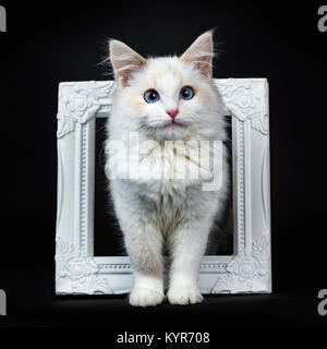 Blue eyed ragdoll cat / kitten standing in photoframe isolated on black background facing camera - Stock Photo