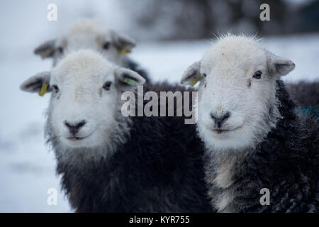 Herdwick sheep, traditional hill breed from Cumbria, in snowy weather, Cumbria, UK - Stock Photo