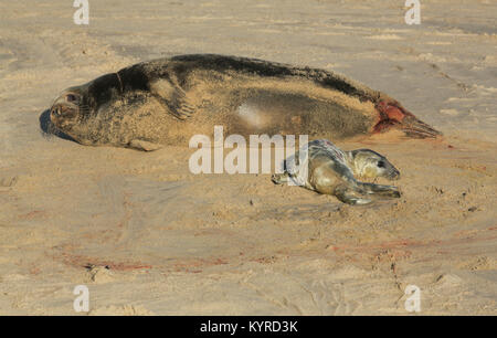 A new born Grey Seal pup (Halichoerus grypus) lying on the beach near its resting mother at Horsey, Norfolk, UK. - Stock Photo