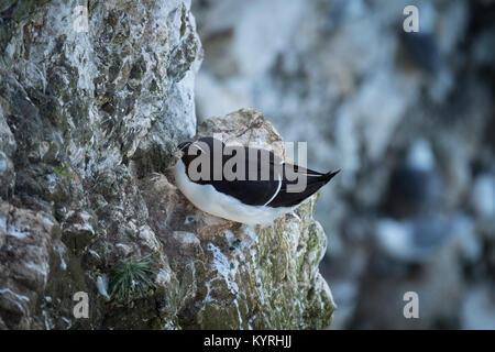 Close-up of single adult razorbill sitting on a nest on a narrow ledge set into a chalk cliff - Bempton Cliffs RSPB - Stock Photo