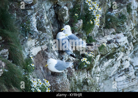 Close-up of 3 adult Kittiwakes perched together on narrow ledges on the side of a chalk cliff- Bempton Cliffs RSPB - Stock Photo