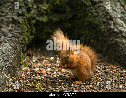 Red squirrel eating nuts after a heavy rain storm - Stock Photo