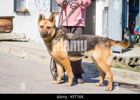 Abused German Shepherd hybrid dog in a shelter - Stock Photo