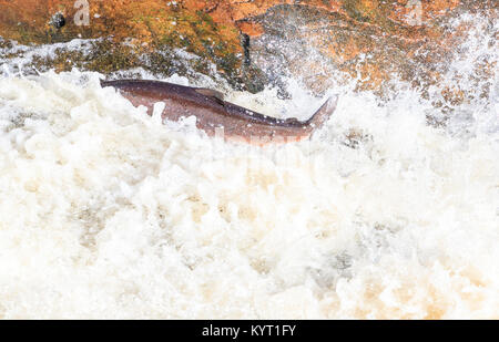 The mighty atlantic salmon travelling to spawning grounds during the summer in the Scottish highland. The salmon - Stock Photo