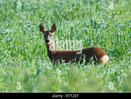 Female/Doe Roe Deer Capreolus capreolus in an arable field Yorkshire England UK - Stock Photo