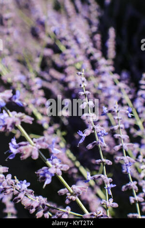 A few sprigs of blooming lavender plants in focus against many plants in selective soft focus all against black - Stock Photo
