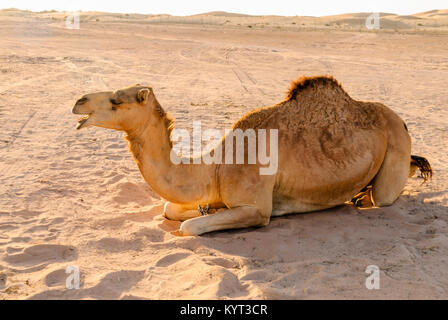 Camel lying on the sand in a desert - Stock Photo