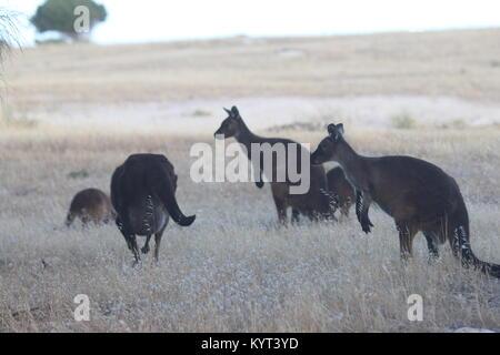 Group of Wild Kangaroos on Kangaroo Island - Stock Photo