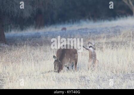 Mother and Joey Kangaroos on Kangaroo Island - Stock Photo