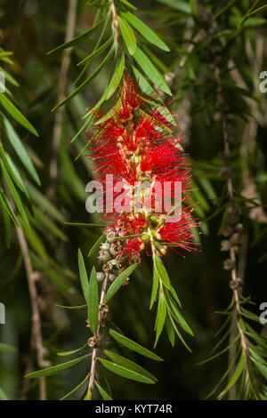 Callistemon viminalis or weeping bottlebrush tree showing red inflorescences and leaves, Kenya, East Africa - Stock Photo