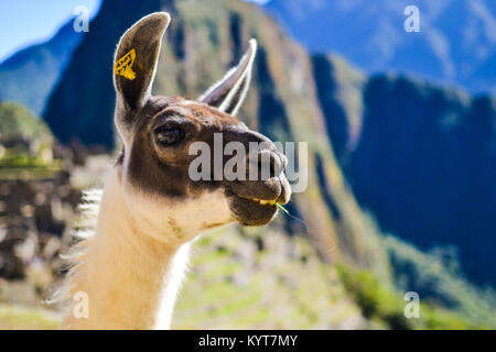 Alpacas in the Sacred Valley - Stock Photo