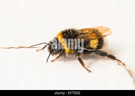 Creeping bumblebee with pollen on ist back - Stock Photo