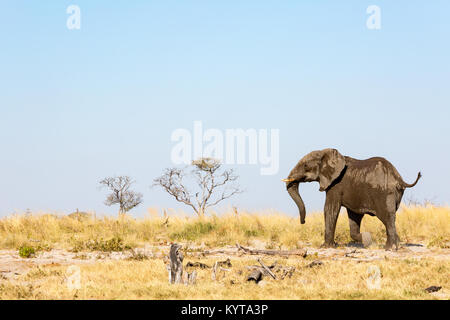Lonely Elephant during a Safari in Botswana, Africa - Stock Photo