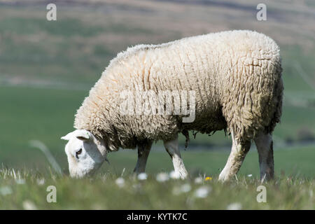 Texel sheep grazing on dales meadow in early summer, Wensleydale, North Yorkshire, UK. - Stock Photo
