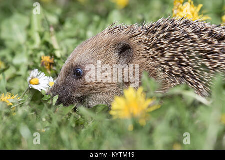 A close side view profile image of a young hedgehog rooting in the grass in between flowers looking for food - Stock Photo