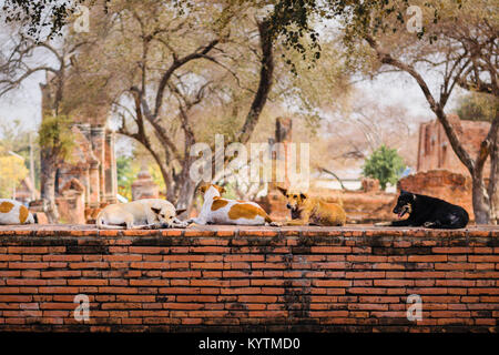 Stray dogs crouch on a precinct wall around Wat Phra Ram temple in Ayutthaya, Thailand. - Stock Photo