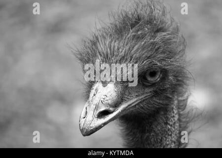 Emu (Dromaius novaehollandiae) head and upper neck portrait staring at the camera. Photo in black and white and - Stock Photo