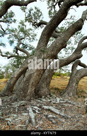 Southern Life Oak trees displaying exposed roots  'Quercus virginiana'  Goose Island State Park. - Stock Photo