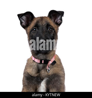 Head shot of Belgian shepherd dog / puppy looking up isolated on white background - Stock Photo