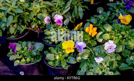 Pansy flower plants in flowerpots. - Stock Photo