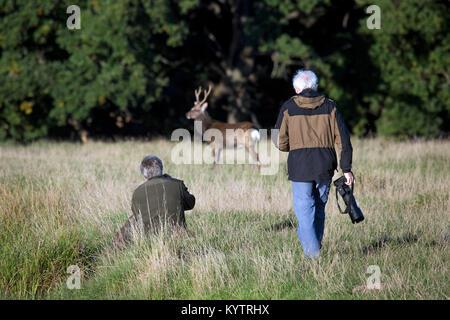 Wildlife photographers / nature photographer approaching Sika deer / spotted deer/ Japanese deer (Cervus nippon) - Stock Photo